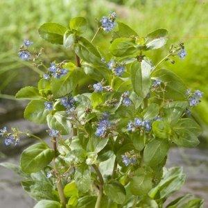 Beekpunge (Veronica beccabunga) moerasplant - 6 stuks