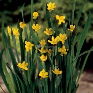 Bieslelie (Sisyrinchium Californicum) moerasplant - 6 stuks