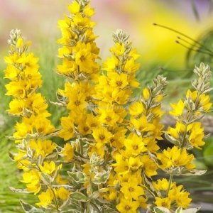 "Bont moeras (Lysimachia ""variegata"") moerasplant - 6 stuks"