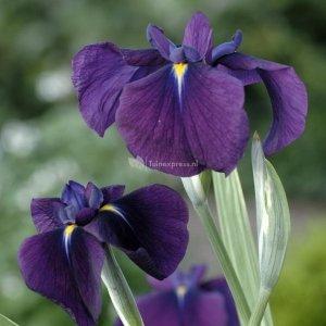 """Bonte Japanse iris (Iris ensata """"Variegata"""") moerasplant - 6 stuks"""