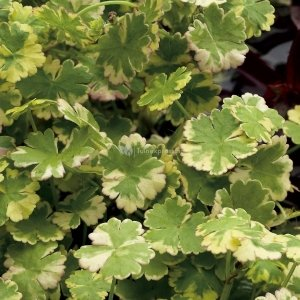 "Bonte waternavel (Hydrocotyle sib. ""Variegata"") zuurstofplant - 10 stuks"