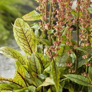 Bonte waterzuring (Rumex sanguinea) moerasplant - 6 stuks