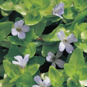 Brede bacopa (Bacopa caroliniana) zuurstofplant - 10 stuks