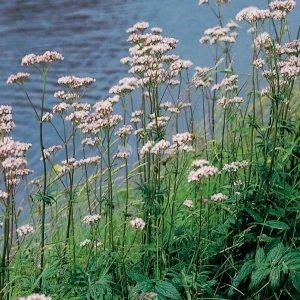 Echte valeriaan (Valeriana officinalis) moerasplant - 6 stuks