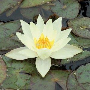 Gele dwergwaterlelie (Nymphaea pygmaea Helvola) waterlelie - 6 stuks