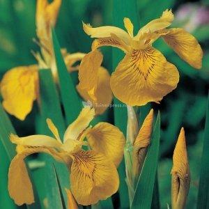 Gele iris (Iris pseudacorus) moerasplant - 6 stuks