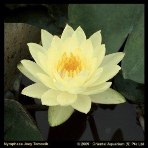 Gele waterlelie (Nymphaea Joey Tomocik) waterlelie - 6 stuks