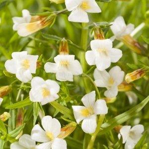 Genadekruid (Gratiola officinalis) moerasplant - 6 stuks