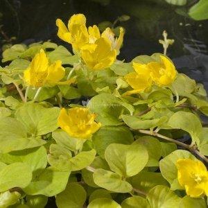 "Goud penningkruid (Lysimachia nummularia ""aurea"") moerasplant - 6 stuks"