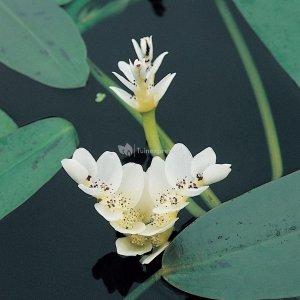 Kaapse waterlelie (Aponogeton Distachyos) waterlelie - 6 stuks