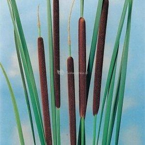 Kleine lisdodde (Typha angustifolia) moerasplant - 6 stuks