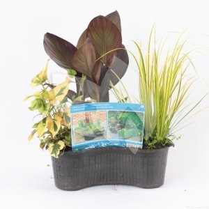 Mix waterplanten in ovale vijvermand - 3 stuks