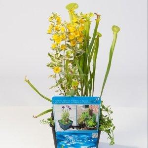 Mix waterplanten in vijvermand - 3 stuks