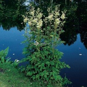 Moerasspirea (Filipendula ulmaria) moerasplant - 6 stuks