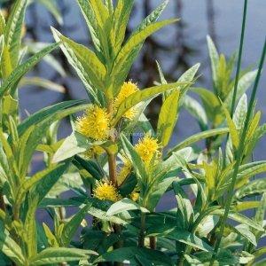 Moeraswederik (Lysimachia thyrsiflora) moerasplant - 6 stuks