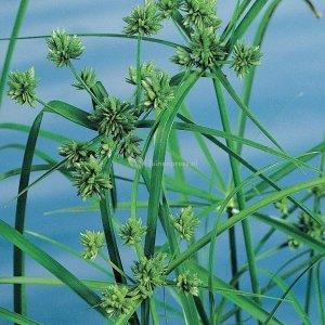 Parapluplant (Cyperus alternifolius) moerasplant - 6 stuks