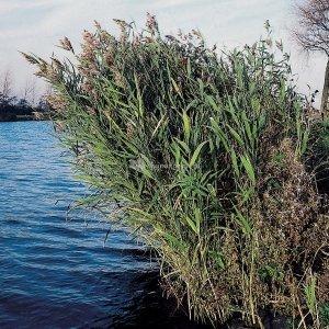 Riet (Phragmites Australis) moerasplant - 6 stuks