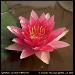 Rode waterlelie (Nymphaea Charles de Meurville) waterlelie - 6 stuks