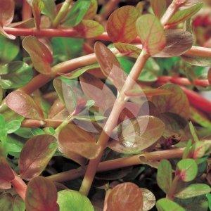 Rotala (Rotala indica) zuurstofplant - 10 stuks