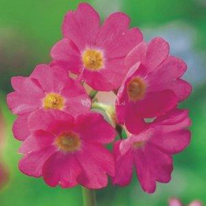 Roze sleutelbloem (Primula rosea) moerasplant - 6 stuks