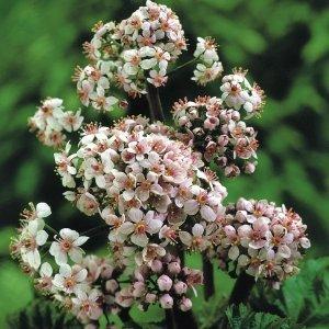 Schildblad (Darmera peltata) moerasplant - 6 stuks