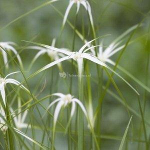 Sterrengras (Dichromena colorata) moerasplant - 3 stuks