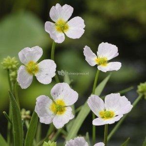 Stijve moerasweegbree (Baldellia ranunculoides) moerasplant - 6 stuks