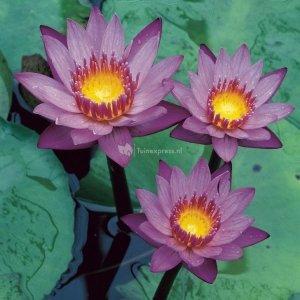 Tropische blauwe waterlelie (Nymphaea King of the Blues) waterlelie - 2 stuks