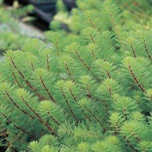 Vederkruid (Myriophyllum 'red stem') zuurstofplant - 10 stuks
