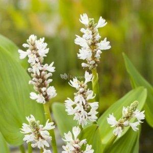 """Wit snoekkruid (Pontederia cordata """"alba"""") moerasplant - 6 stuks"""