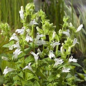 "Witte Virginische lobelia (Lobelia siphilitica ""Alba"") moerasplant - 6 stuks"