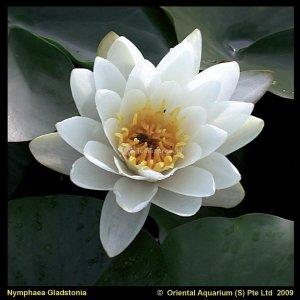 Witte waterlelie (Nymphaea Gladstoniana) waterlelie - 6 stuks