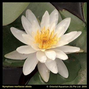 Witte waterlelie (Nymphaea Marliacea Albida) waterlelie - 6 stuks