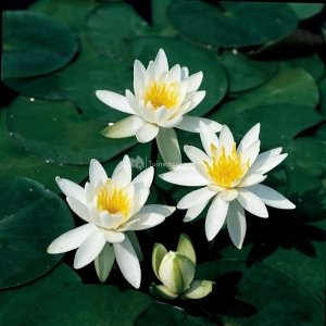 Witte waterlelie (Nymphaea odorata alba) waterlelie - 6 stuks