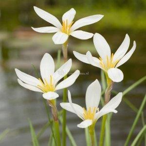 Witte westenwindbloem (Zephyranthes candida) moerasplant - 6 stuks
