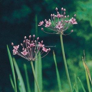 Zwanenbloem (Butomus umbellatus) moerasplant - 6 stuks